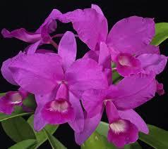 Orquídea_atributo